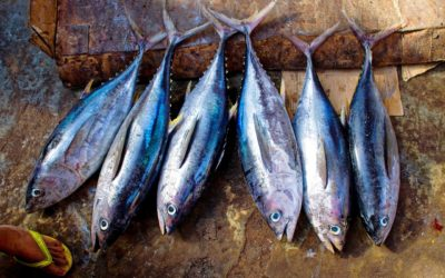 Iceland Seafood Barraclough Ltd. Partners with Global Tuna Alliance
